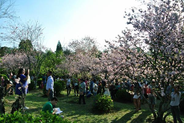 Festa das Cerejeiras bosque cerejeiras