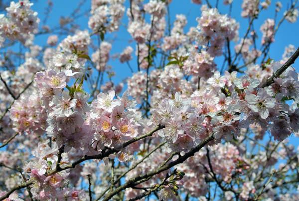 Festa das Cerejeiras sakuras