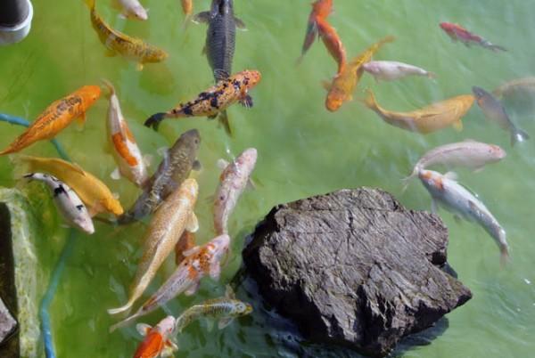 Pavilhao Japones lago carpas coloridas